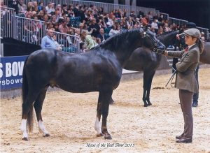 Skellorn Bronze Soldier at HOYS 2013